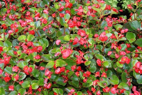 Begonias Husband planted across the front of the house