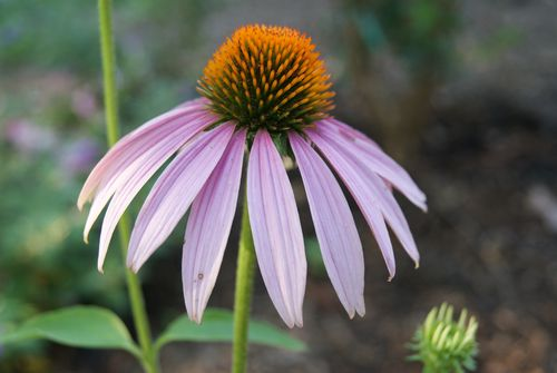The cone flowers are in bloom. Finches can't be far behind.