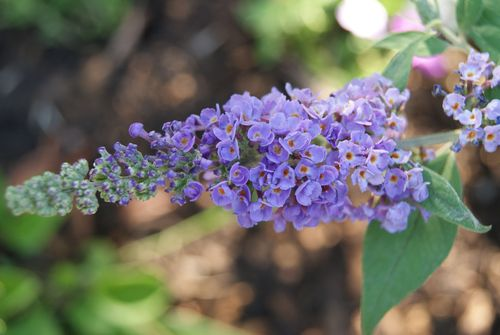 Butterfly bush -- we're working on a butterfly garden.